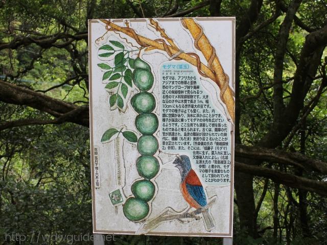奄美大島に自生するモダマ