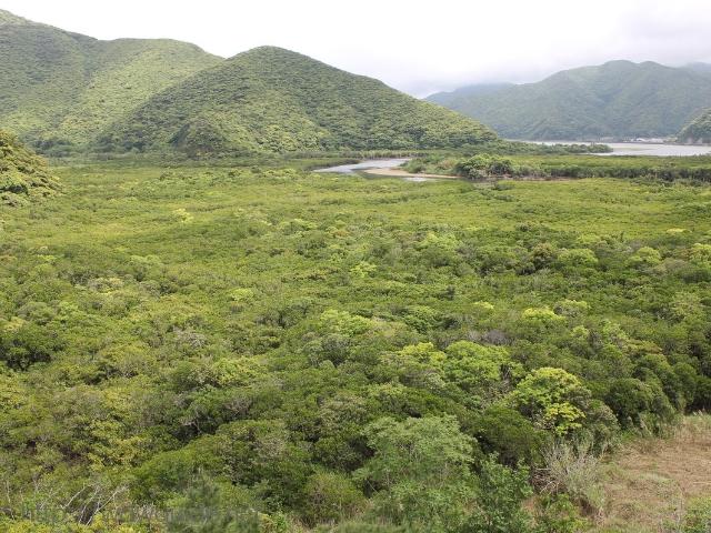 奄美大島のマングローブ