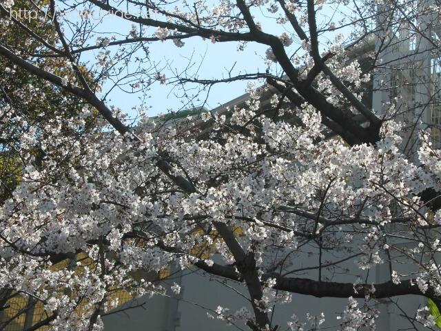 シティーループバス車内から見た神戸の桜