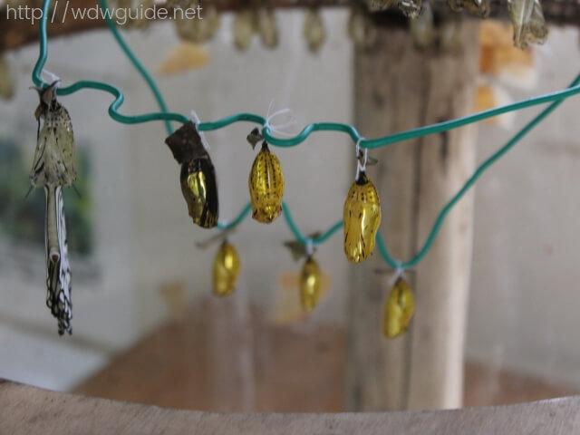 石垣島鍾乳洞に展示されていたオオゴマダラのさなぎ
