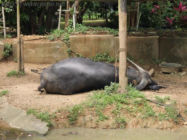 石垣やいま村の寝ている水牛