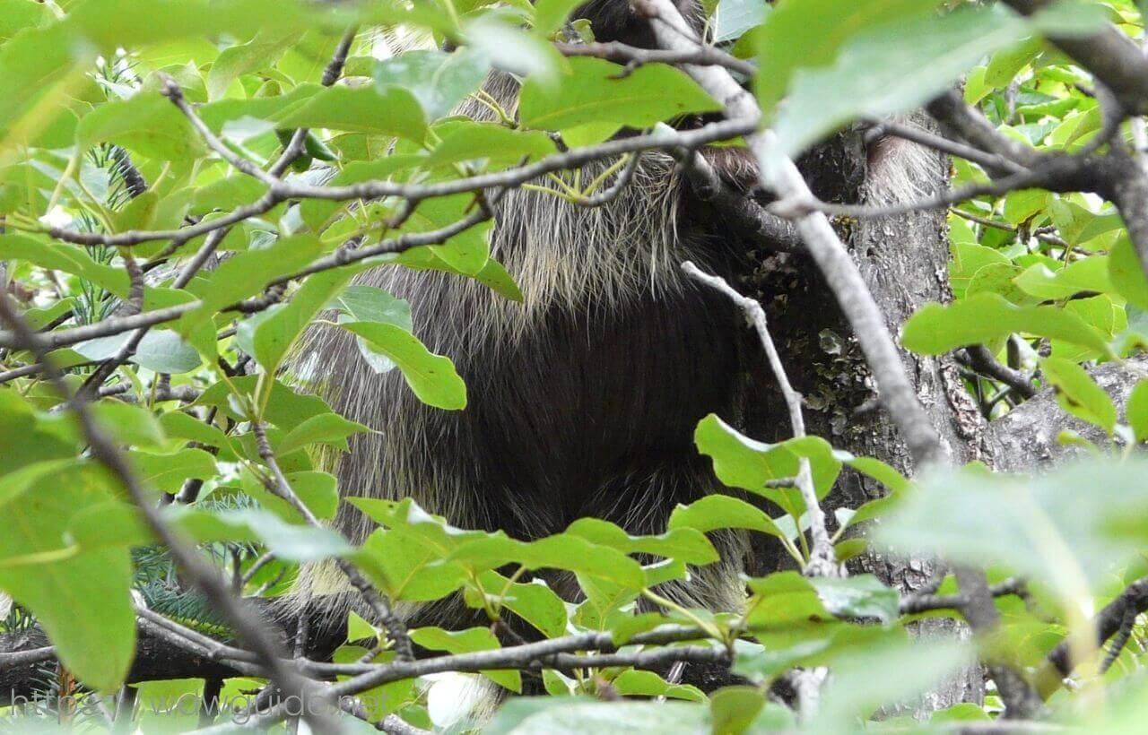 アラスカ・ジュノーのメンデンホールのハリネズミ