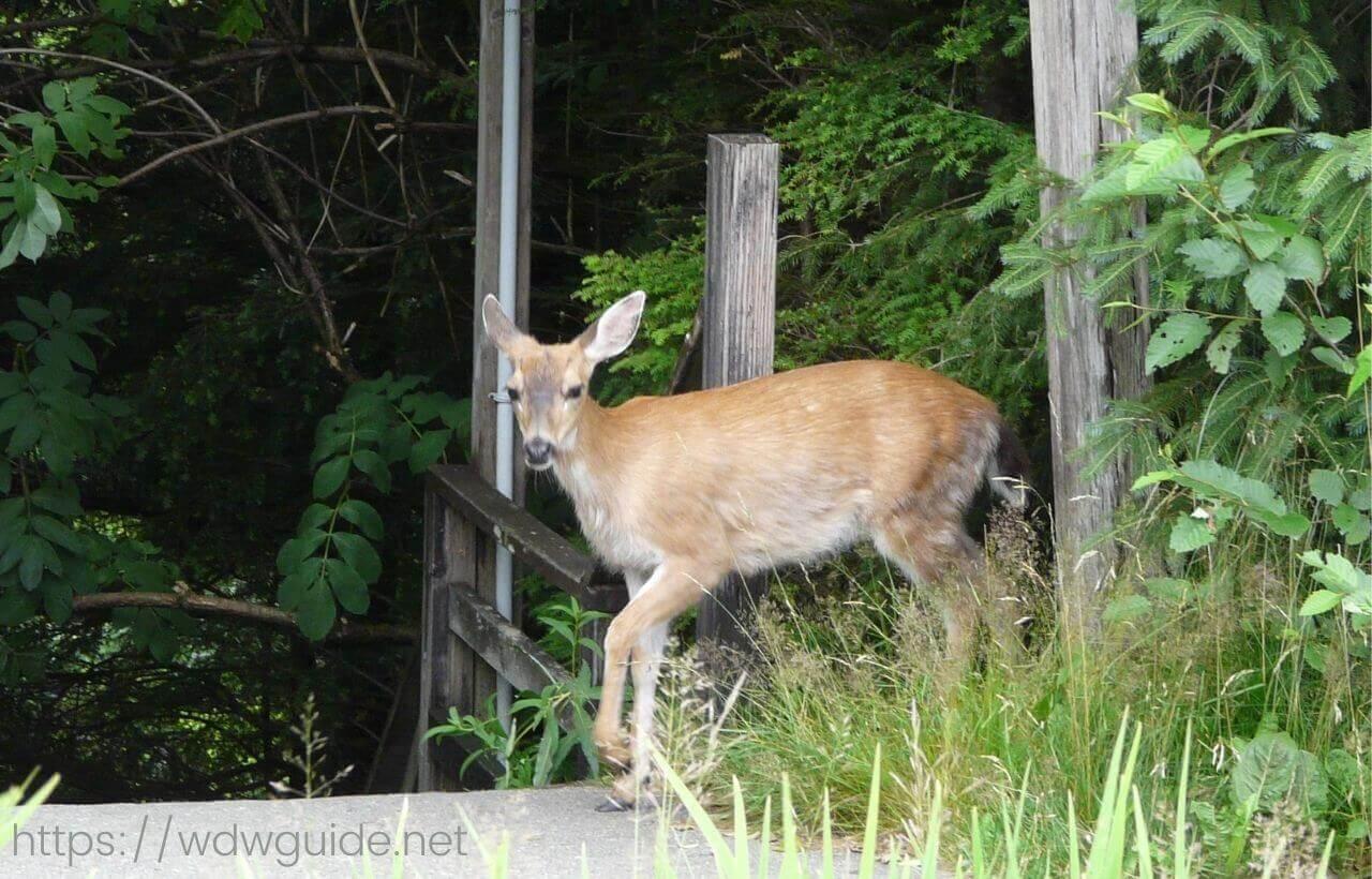 アラスカ・ケチカンの鹿