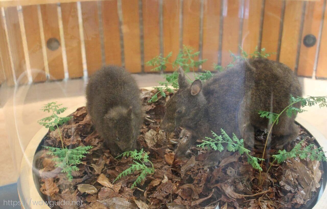 奄美野生生物保護センターのアマミノクロウサギの剥製