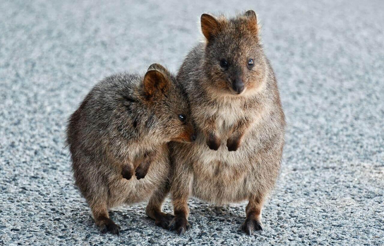 西オーストラリア州のクオッカ